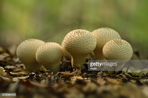 common, warted or gem-studded puffball or devils snuff-box --lycoperdon perlatum-, brandenburg, germany, europe - seta pedo de lobo fotografías e imágenes de stock