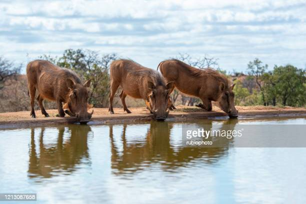 common warthogs drinking at a watering hole in south africa - images of ugly feet stock pictures, royalty-free photos & images