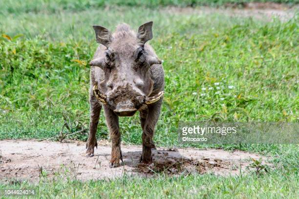 common warthogs looking at the camera - wild hog stock photos and pictures
