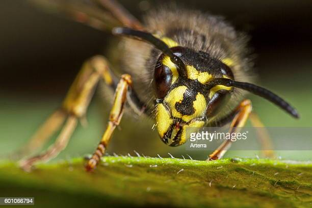 Common wasp queen on leaf close up