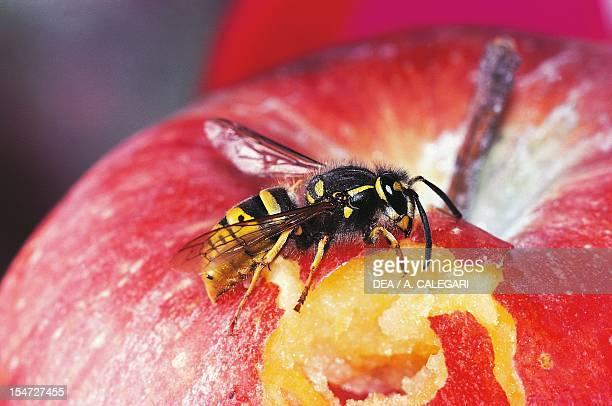 Common wasp Vespidae