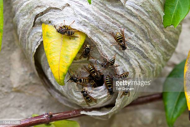 Common wasps Vespula vulgaris yellowjacket with wasp nest in the Cotswolds Oxfordshire UK