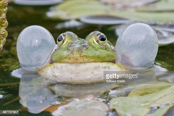 Common Water Frog -Rana esculenta- with vocal sacs, Hesse, Germany