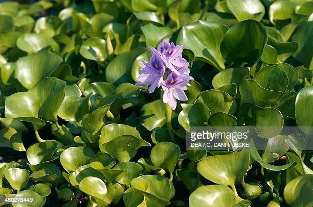 Common water hyacinth or Floating water hyacinth Pontederiaceae