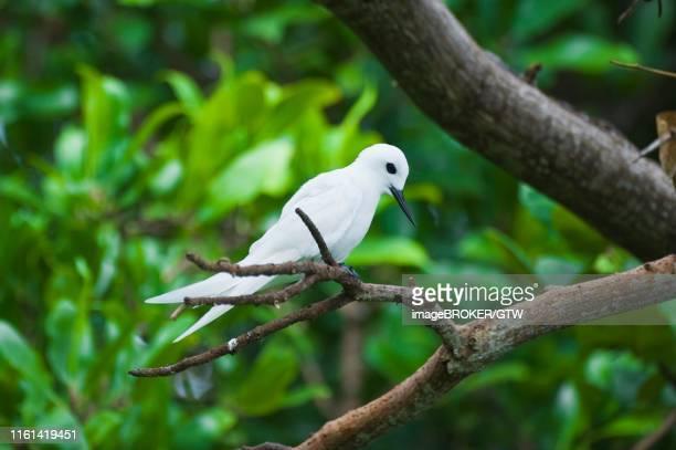 common white-tern or fairy tern (gygis alba), fernando de noronha, brazil - {{asset.href}} stock-fotos und bilder