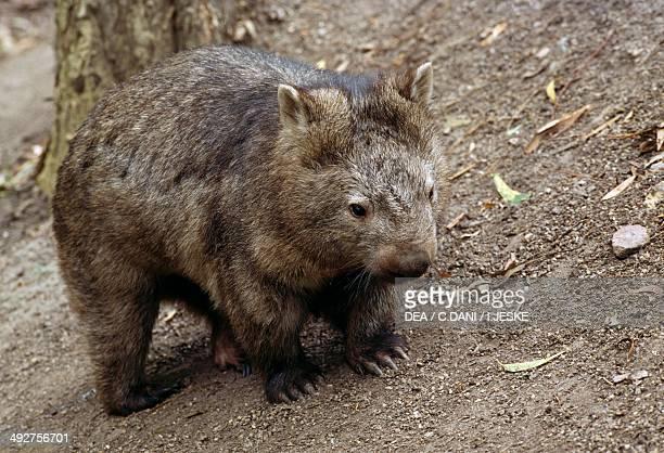 Common wombat, Coarse-haired wombat or Bare-nosed wombat , Vombatidae.