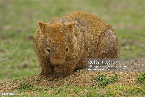 common wombat - wombat stock pictures, royalty-free photos & images