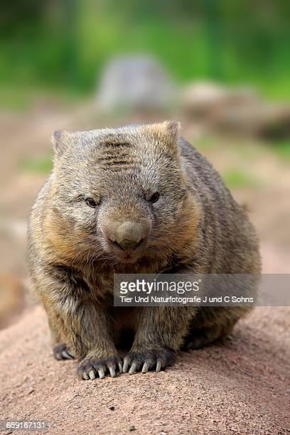 Common wombat, (Vombatus ursinus)