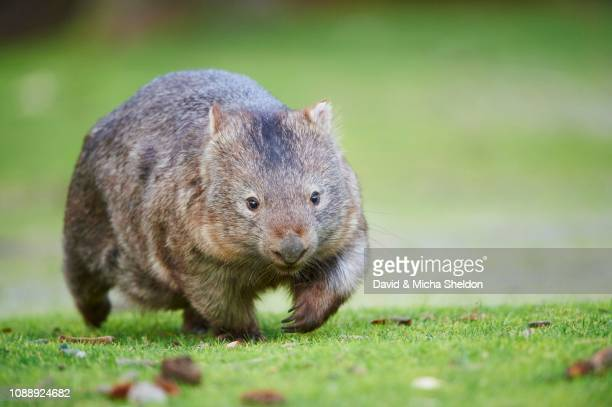 common wombat (vombatus ursinus) walking on a meadow, wilson's promontory national park, victoria - wombat stock pictures, royalty-free photos & images