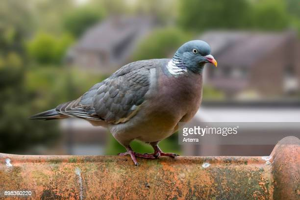 Common wood pigeon perched on roof tile of house