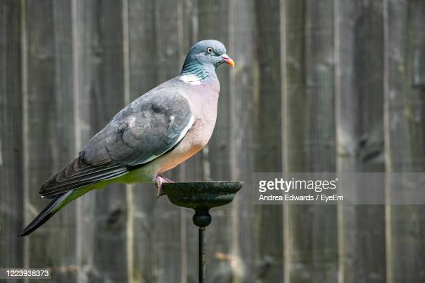 common wood pigeon - pigeon stock pictures, royalty-free photos & images