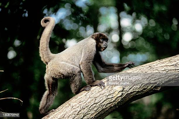 common woolly monkey (lagothrix lagotricha), south america - vista lateral stock pictures, royalty-free photos & images