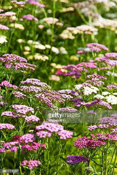 Common Yarrow, Achillea millefolium, pink and white