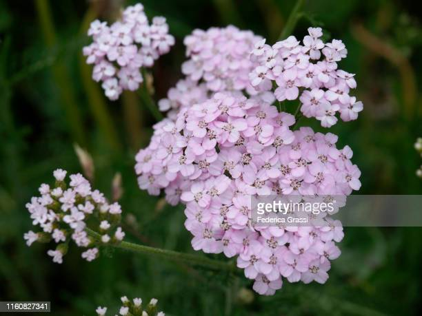 common yarrow (achillea millefolium) flowering on a green pasture at alpe piora - yarrow stock pictures, royalty-free photos & images