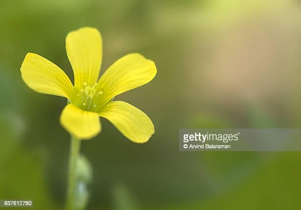 Common Yellow Wood-sorrel