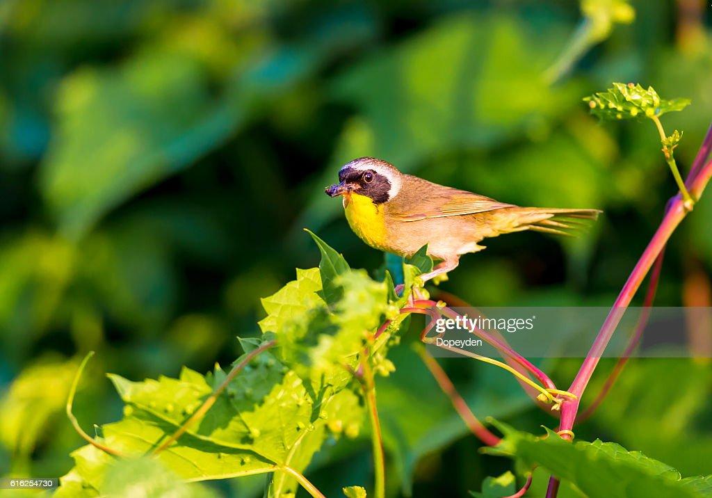 Common Yellowthroat. : Foto de stock