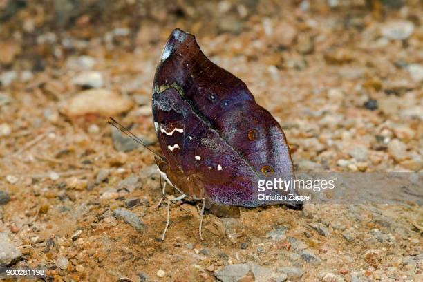 common yeoman (cirrochroa tyche mithila), kaeng krachan national park, phetchaburi, thailand - mithila stock photos and pictures