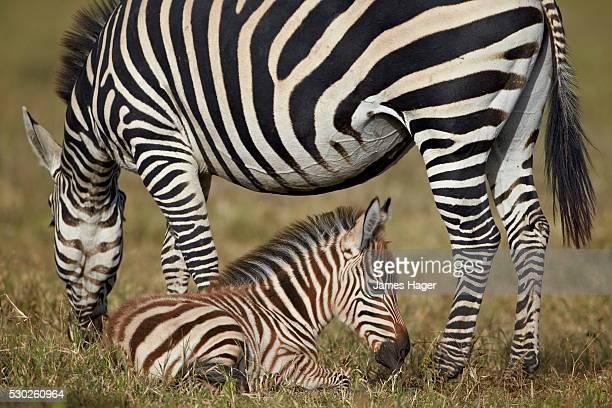 Common zebra (plains zebra) (Burchell's zebra) (Equus burchelli) adult and colt, Ngorongoro Crater, Tanzania, East Africa, Africa