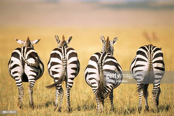 common zebra behinds  - zebra stock pictures, royalty-free photos & images