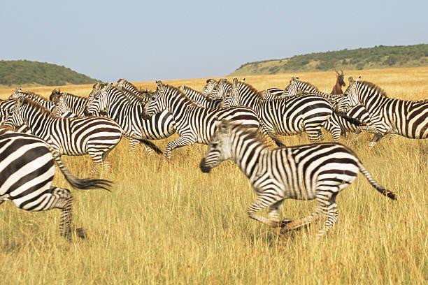 Common zebra herd galloping
