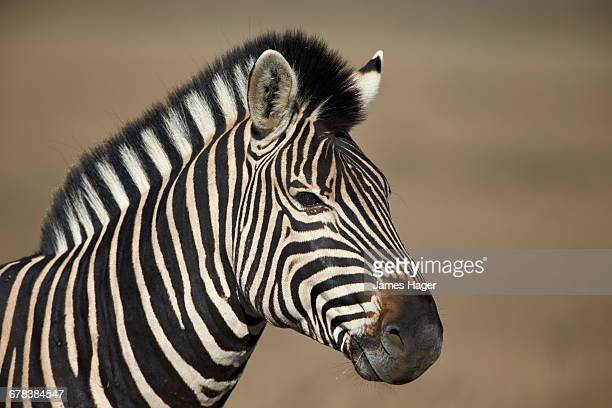 Common zebra (Plains zebra) (Burchells zebra) (Equus burchelli), Mountain Zebra National Park, South Africa, Africa