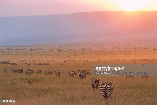 common zebras and wildebeest at sunset - escarpment stock pictures, royalty-free photos & images