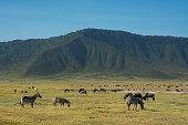 common zebras equus quagga ngorongoro crater