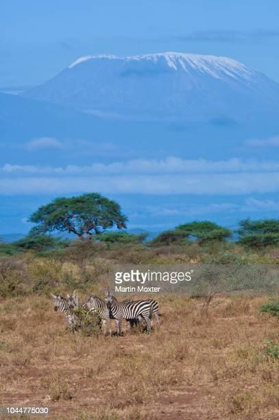 common zebras, plains zebras (equus quagga burchelli) with mt. kilimanjaro as backdrop, tsavo national park, kenya - east stock photos and pictures