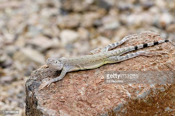 common zebra-tailed lizard, callisaurus draconoides draconoides, sonoran desert, tucson, arizona, usa. the long, slender legs are an adaptation for running at great speed. when about to run, it curls and wags its tail. - ed reschke photography stock photos and pictures