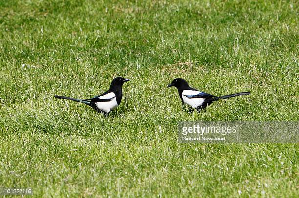 Communicating Magpies