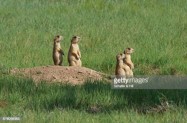 community  - prairie dog stock pictures, royalty-free photos & images