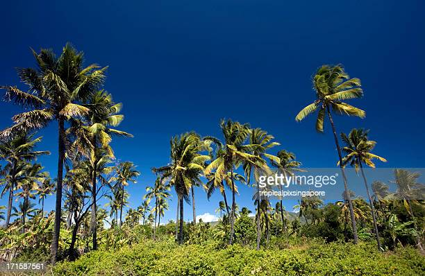 Comoros, Anjouan, coconut grove.