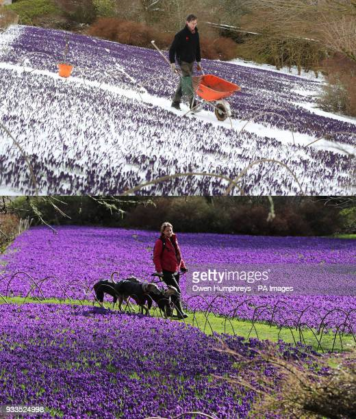 A comp of photos of the Crocus garden at Wallington Hall in Northumberland today and one year ago as the wintry snap dubbed the quotmini beast from...