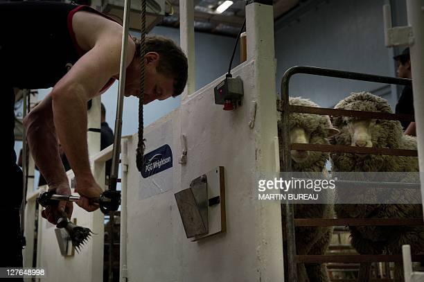A competitor checks his shearer during the 50th New Zealand International Merino Shearing championships on September 29 2011 at the Molyneux Park...