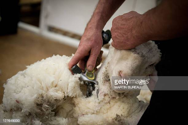A competitor shears a sheep during the 50th New Zealand International Merino Shearing championships on September 29 2011 at the Molyneux Park Stadium...