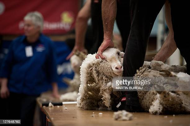 Competitors shear sheep during the 50th New Zealand International Merino Shearing championships on September 29 2011 at the Molyneux Park Stadium in...