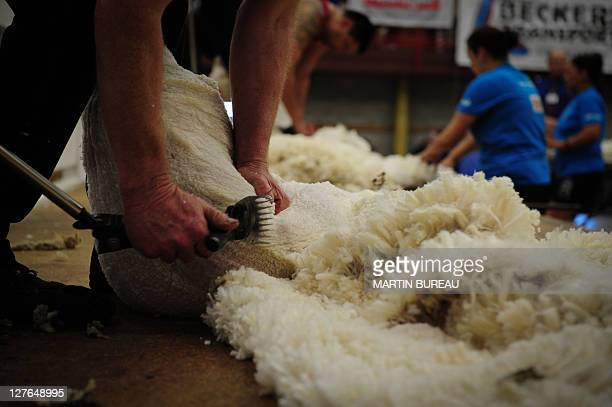 Competitors shear sheeps during the 50th New Zealand International Merino Shearing championships on September 29 2011 at the Molyneux Park Stadium in...