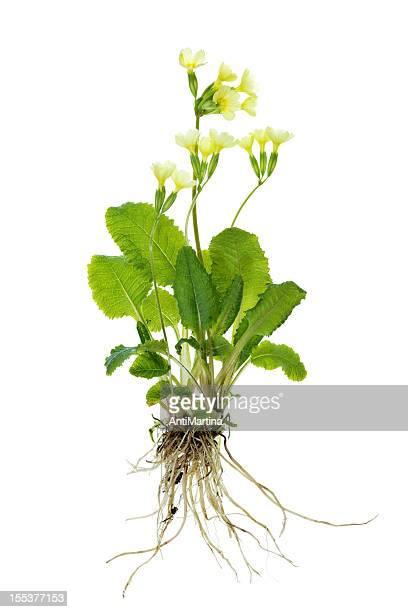 Das primrose Pflanze (Wiesenschlüsselblume/Primel veris), isoliert auf weiss