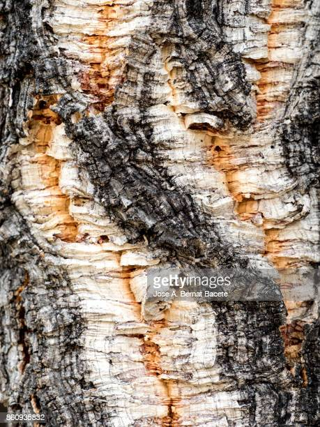 Complete setting of the textures of wood of a trunk of tree of the specie (Quercus suber),  Cork Oak Tree. Forest in the Sierra de Espadan, Castellón, Spain