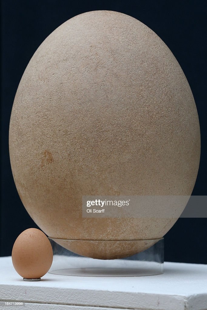 A complete sub-fossilised elephant bird egg sits next to a chicken's egg, in Christie's auction house on March 27, 2013 in London, England. The elephant bird egg is expected to fetch 30,000 GBP when it features in Christie's 'Travel, Science and Natural History' sale, which is to be held on April 24, 2013 in London.