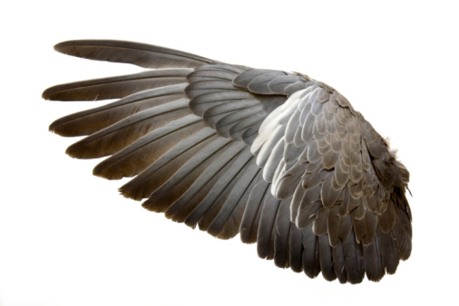 Complete wing of grey bird isolated on white 94462246