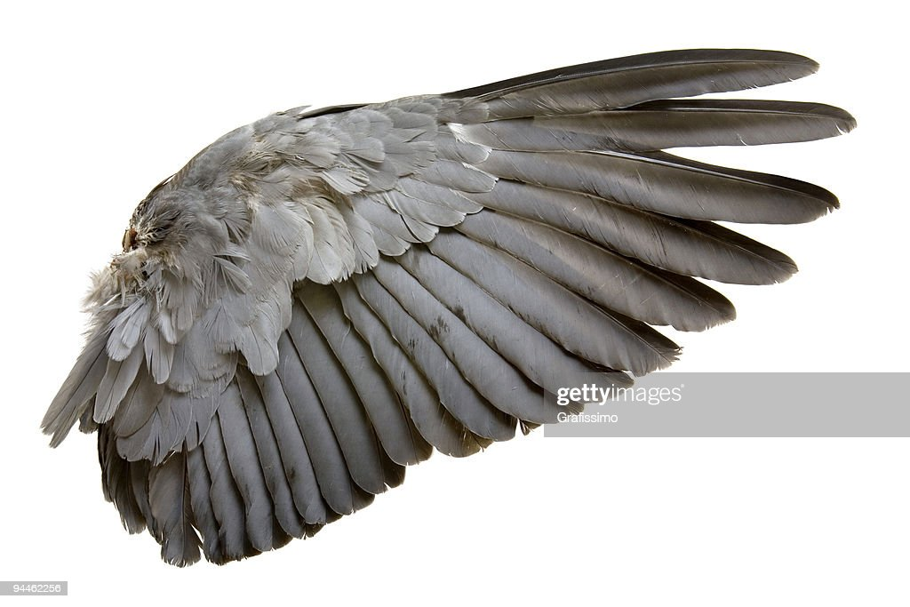 Complete wing of grey bird isolated on white : Stock Photo