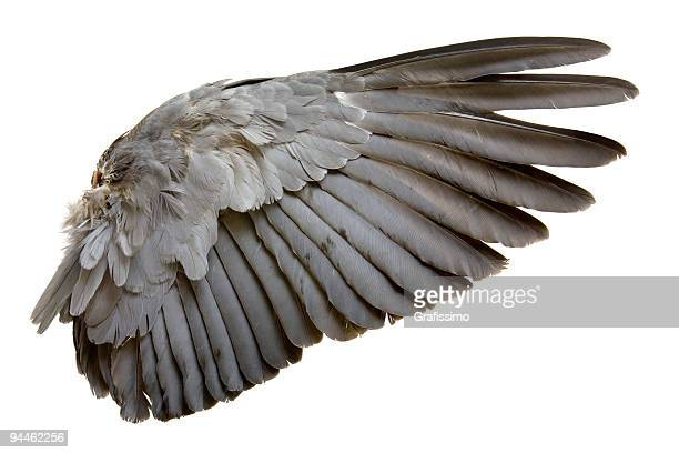 Complete wing of grey bird isolated on white