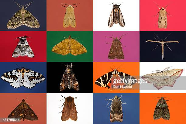 A composite image of moths trapped during several recording nights in 2013 including the rare Deaths Head Hawkmoth This weekend saw the annual Moth...