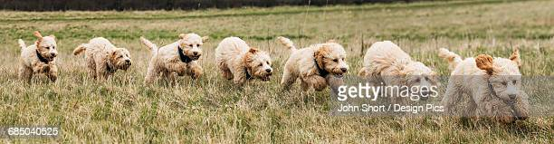 Composite of a cockapoo dog running on a grass field, with 7 images of a dog in a row
