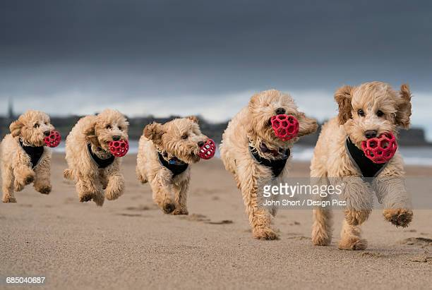 Composite of a cockapoo running on the beach with a red ball in its mouth, with 5 images in a row