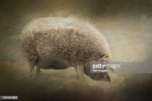 composite of a pregnant blonde mangalitsa sow - 雌豚 ストックフォトと画像