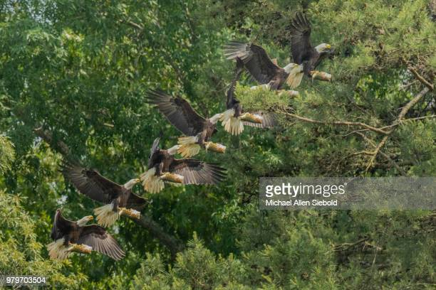 A Composite of an Eagle Flying with a Fish Against Trees