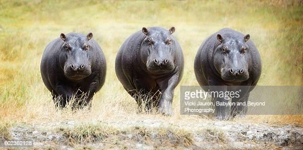 Composite of Hippopotamus Walking Forward in the Serengeti, Tanzania, Africa