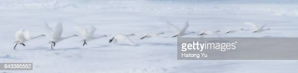 Composite of image series of a whooper swan taking off